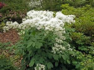 thalictrum aquilegifolium coastal garden ideas pinterest