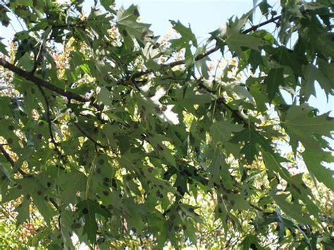 maple tree diseases maple leaf tar spot disease librarianne
