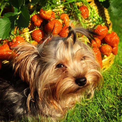 can yorkies eat fruit 1000 images about modern pet parenting on pets cat cafe and peace of mind