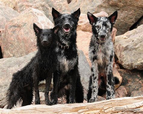 mudi puppies the mudi is a hungarian herding breed of it is a versatile breeds picture