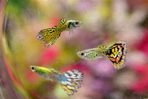 Beautiful Home Decorations How To Keep And Breed Fancy Guppies 5 Steps With Pictures