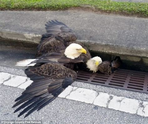 storm of eagles the hillary clinton supporters seize on image of bald eagle stuck in a storm drain daily mail online