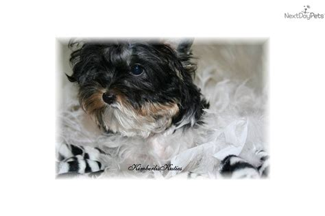 biva yorkie terrier yorkie puppy for sale near dallas fort worth 85e26abf 75d1