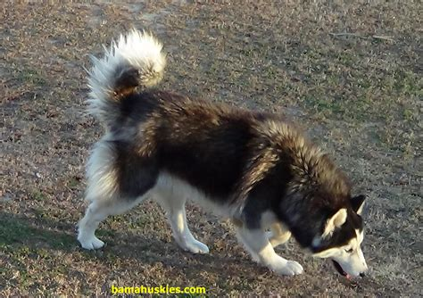service dogs for sale stud service siberian husky puppies for sale