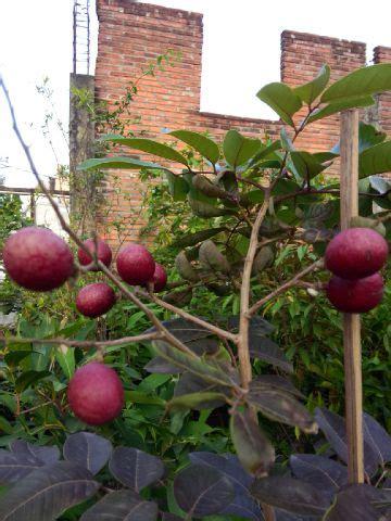 Bibit Kelengkeng Sudah Berbuah bibit tanaman buah langka unggul daerah kota blitar jenis
