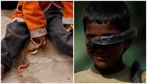 film ular cobra india dari orok sudah akrab dengan cobra inilah 4 fakta desa