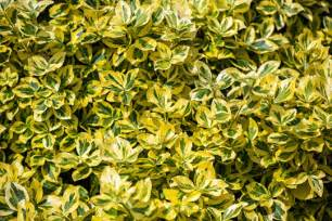 types of evergreen shrubs landscapers talk local blog