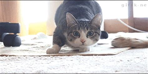 Cat Meme Gif - mash up cat gif find share on giphy