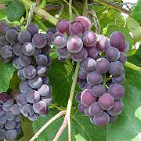 buy fredonia grape vines for sale double a vineyards