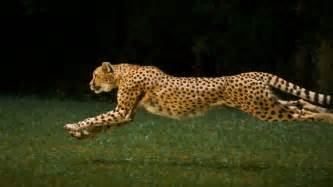 How Many Can A Jaguar Run Quotes About Running Cheetah Quotesgram