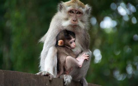 monkey wallpaper wallpaper with monkeys wallpapersafari