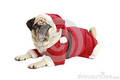 pug santa costume pug in santa costume lies and looks royalty free stock image image 34114386