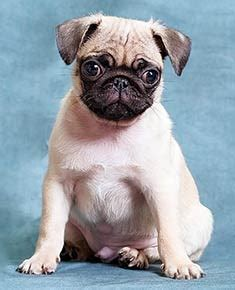 can pugs be trained pug breed information