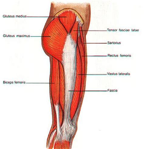 muscles in buttocks diagram the healthy lifestyle july 2009