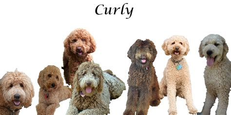 goldendoodle hair types curly haired labradoodle short curly hair