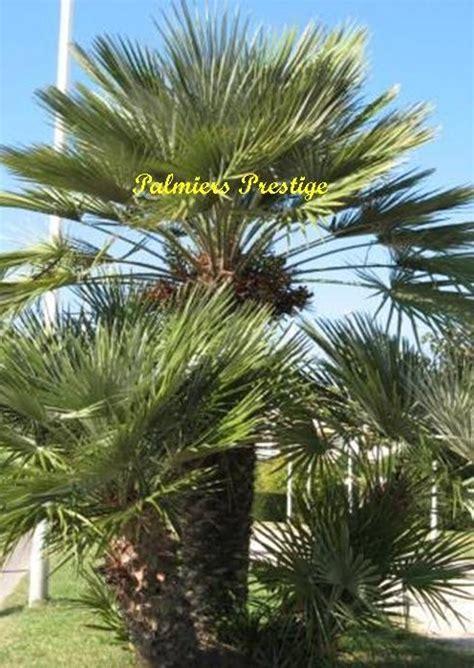 Chamaerops Excelsa Taille Adulte by Chamaerops Humilis Vente Des Plus Beaux Palmiers D Ext 233 Rieur
