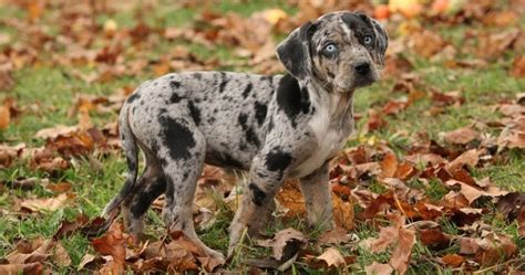 catahoula hound catahoula leopard dogs everything you need to