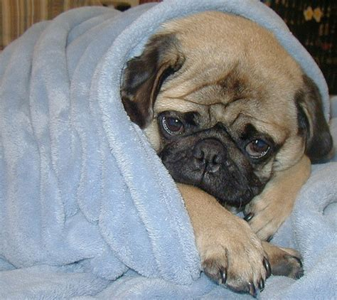 pugs in blankets pug in a blanket alligator sunglasses