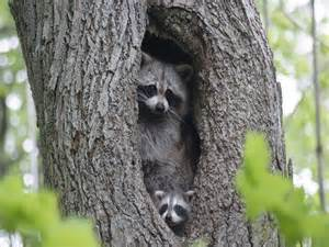 Raccoons will make their homes in several different places such as