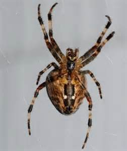 Common Garden Spider Lifespan The Cross Orb Weaver Or Common Garden Spider Facts