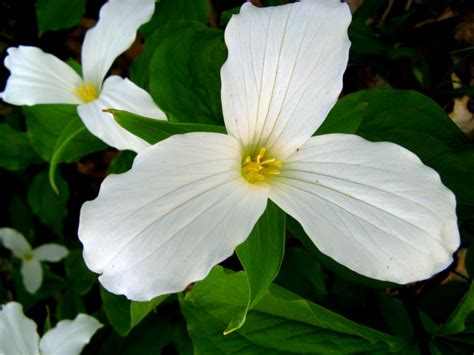 white trillium flower