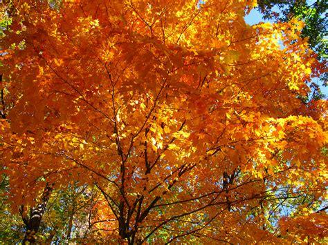 file fall orange maple tree west virginia forestwander jpg