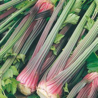 Bibit Seledri Batang Besar celery