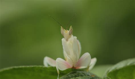 praying mantis change color these beautiful mantises use their colors to their advantage