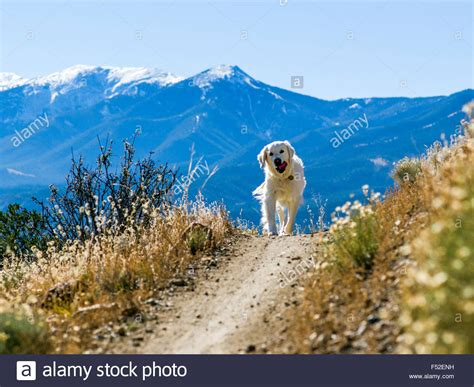 golden retriever hiking platinum color golden retriever on hiking biking trails on quot s stock photo