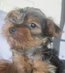 yorkie puppies kansas city 2613 best images about yorkies on puppys terrier and teacup