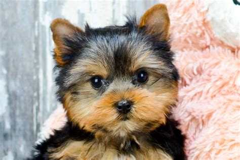 affordable teacup yorkies affordable puppies near me pets world