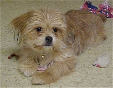 pekingese and yorkie mix yorkinese breed information and pictures