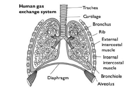 human gas exchange system diagram 50 the gas exchange system biology notes for a level