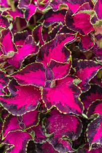 how to care for coleus plants ebay