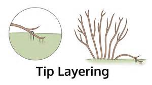 plant layering information what plants can be propagated by layering
