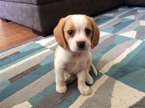 beaglier puppies beaglier cottage canines australia