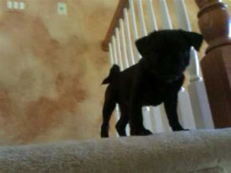 pug going up stairs pug goes stairs with a help from doovi