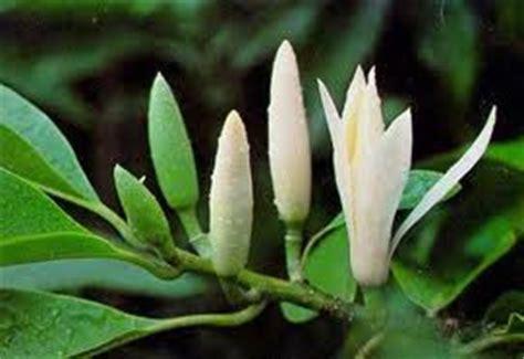 Cempaka Putih Aceh tanaman obat herbal june 2012
