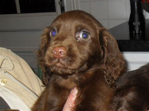 free cocker spaniel puppies brown cocker spaniel puppies www pixshark images