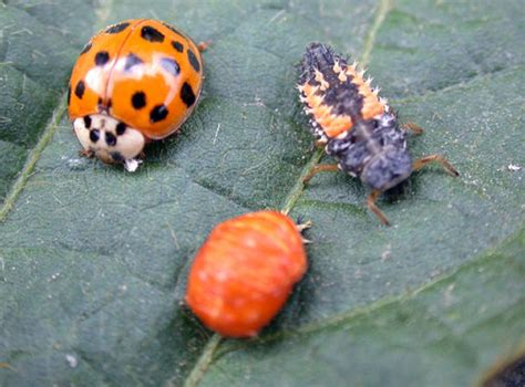 garden pest identification grape insect pests of the home garden insects
