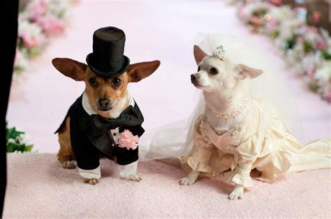 beverly chihuahua pug beverly chihuahua photograph beverly chihuahua 2 pictur