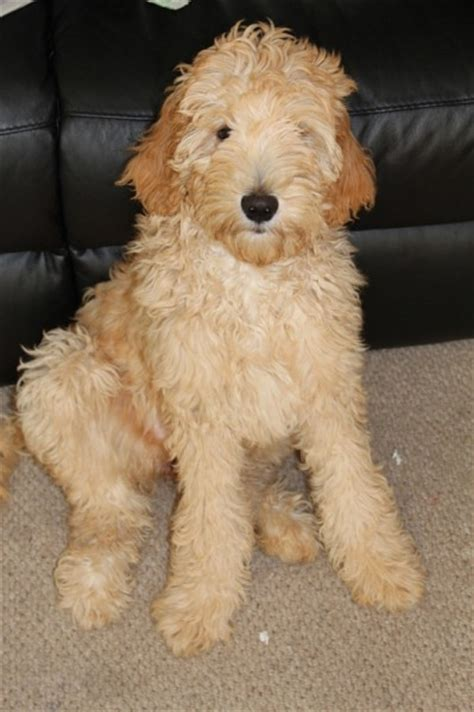 mini labradoodles wa the name aussiedoodle and labradoodle puppies