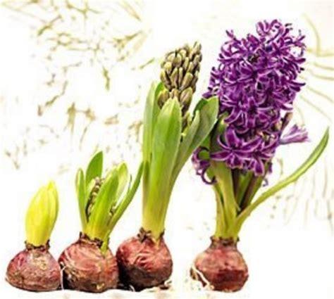 Jual Bibit Bunga Hyacinth Jual Umbi Bunga Hyacinth Hyacinthus Mixed Bibitbunga