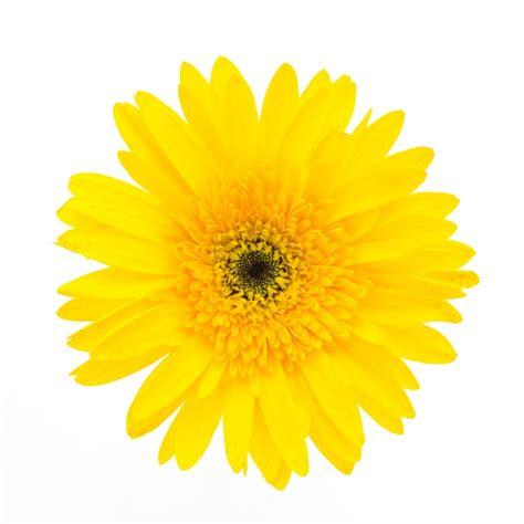 imagenes de flores sin fondo flor amarilla en un fondo blanco descargar fotos gratis