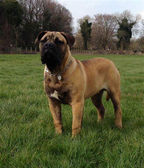 boerboel puppies for sale 12 month boerboel for sale liverpool merseyside pets4homes
