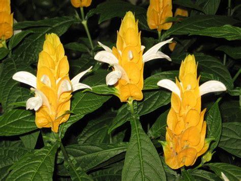 PlantFiles Pictures: Golden Shrimp Plant, Lollipop Plant (Pachystachys lutea) by MusaRojo