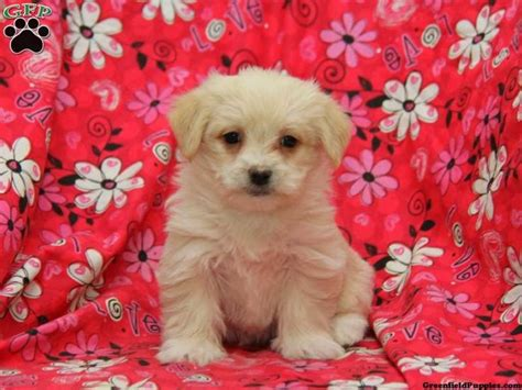 yorkie maltese mix puppies for sale in maryland pug mix puppies for sale in de md ny nj philly dc and baltimore breeds picture