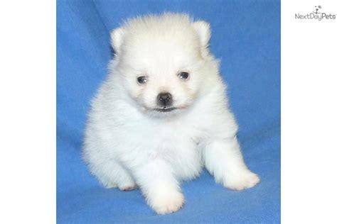 teacup pomeranian puppies for sale near me pomeranian puppy for sale near springfield missouri 34c46878 12a1
