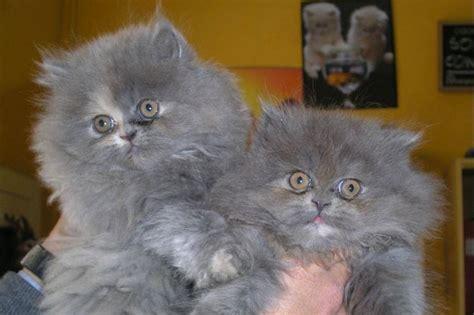 foto dei gatti persiani gatto persiano bianco pelo lungo gatto persiano bianco