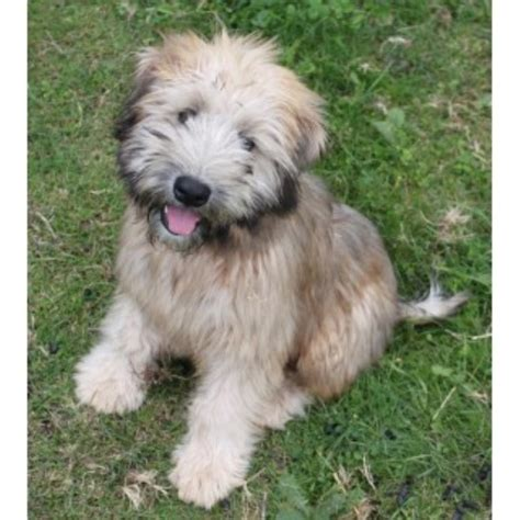 soft coated wheaten terrier puppies for adoption soft coated wheaten terrier breeders in the usa and canada freedoglistings
